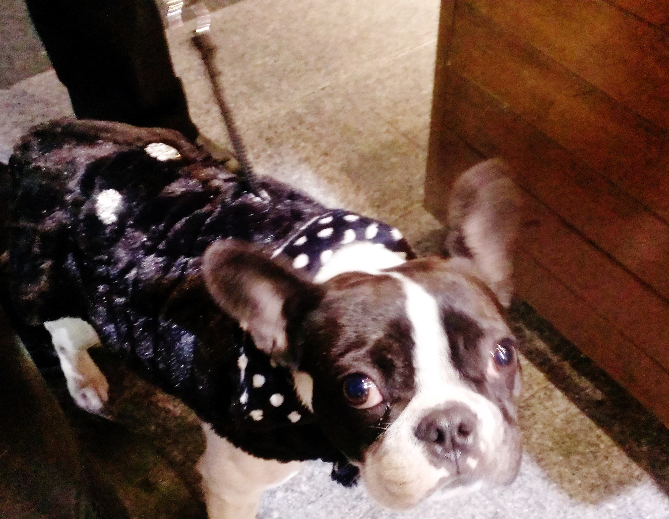 Mink_Polkadot_Dog_Coat_Boston_Terrier