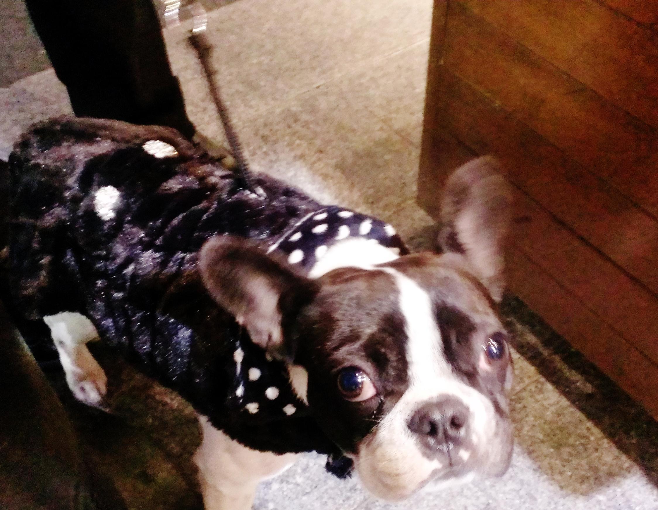Mink_Polkadot_Dog_Coat_Boston_Terrier