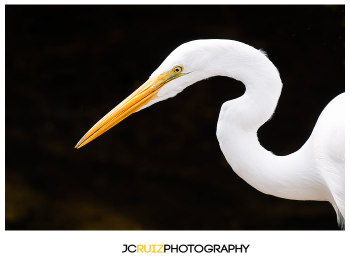 Great Egret Everglades