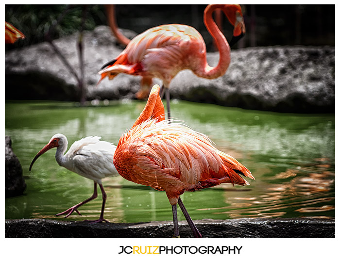 Zoo Miami Flamingo