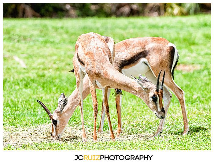 Zoo Miami Gazelle