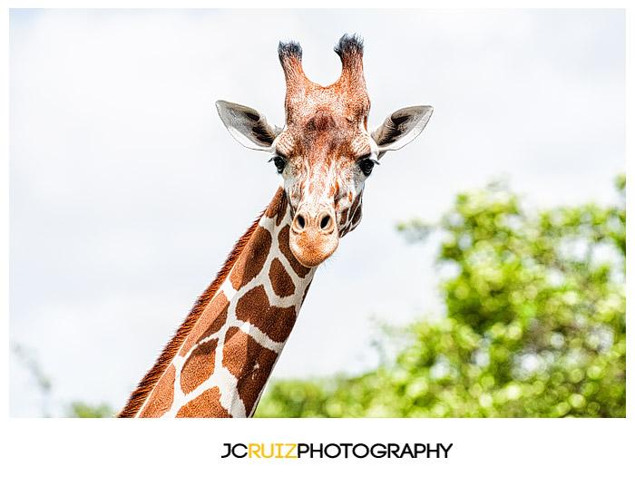 Zoo Miami Giraffe