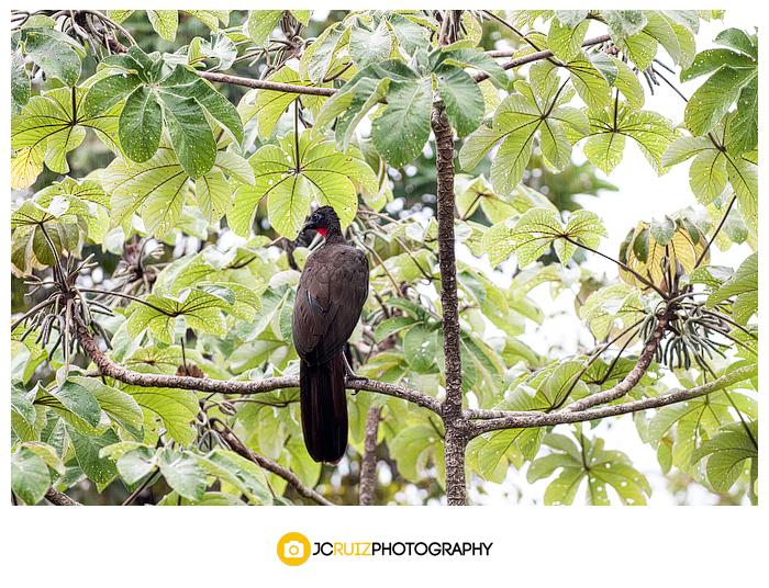 Costa Rica Black Guan