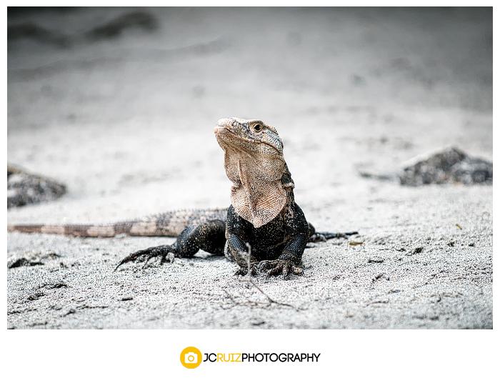 Costa Rica Ctenosaur