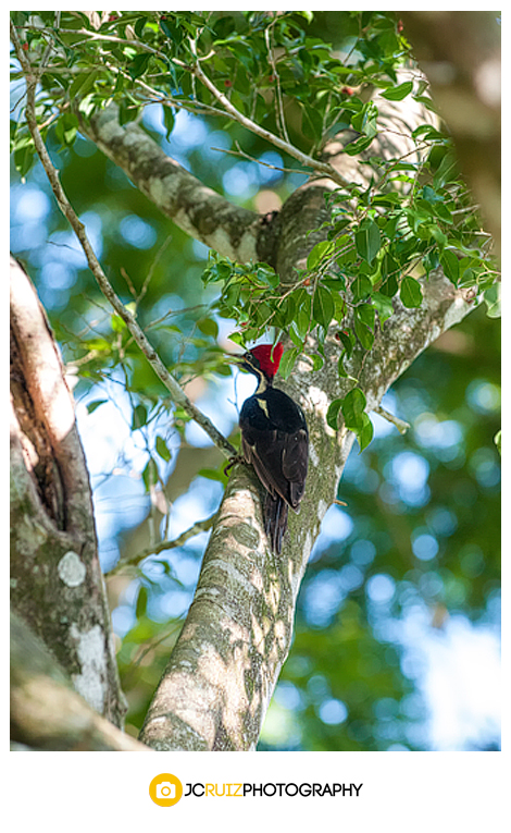 Costa Rica pileated woodpecker
