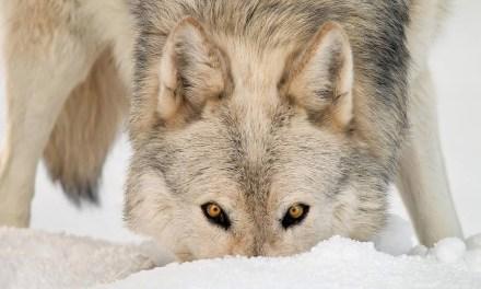 30 photos de loups pour les amoureux de cet animal majestueux.
