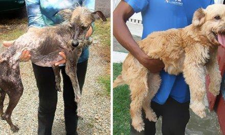 16 photos de chiens avant-et-après leur sauvetage. Des métamorphoses incroyables !