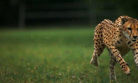 Admirez l'élégance magistrale du guépard en pleine course grâce à cette magnifique vidéo au ralenti