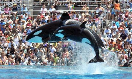 Etats-Unis: Seaworld annonce la fin des spectacles d'orques en Californie