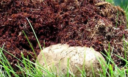 Permaculture de Pomme de terre – Dans le jardin de Jean