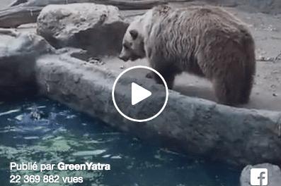 Plus de 22 millions de vues – Un ours sauve un corbeau de la noyade.