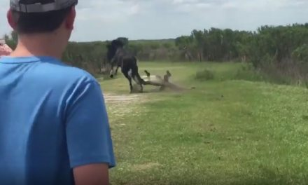 Floride: Un cheval attaque un alligator dans un parc naturel