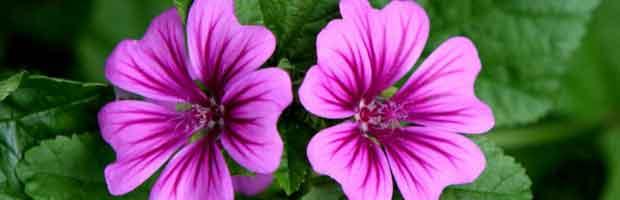 La mauve, plante comestible et régénératrice de la peau et des muqueuses.