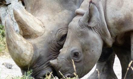 Afrique du Sud: légère baisse du nombre de rhinocéros tués