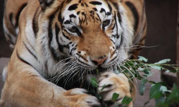 Deux tigres rescapés d'un zoo à Alep trouvent refuge aux Pays-Bas