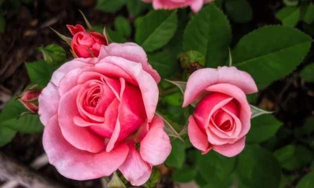 Pensée inspirante: La rose
