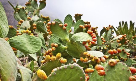 Le cactus, un aliment d'avenir selon l'ONU