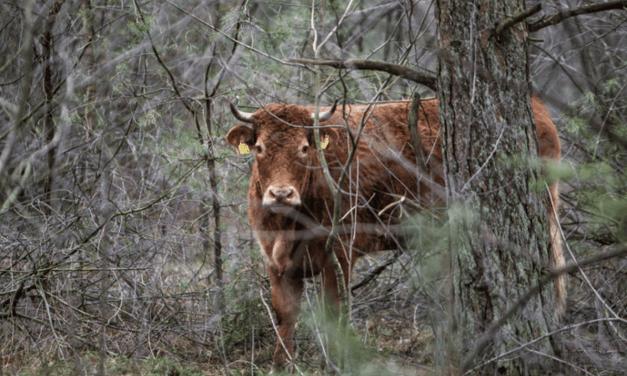 Envoyée à l'abattoir, cette vache s'échappe, se cache dans la forêt et devient une star