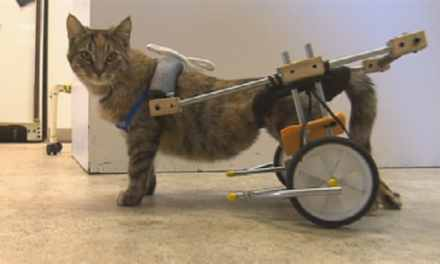 Canada: Une chatte paraplégique marche de nouveau grâce à une belle invention.