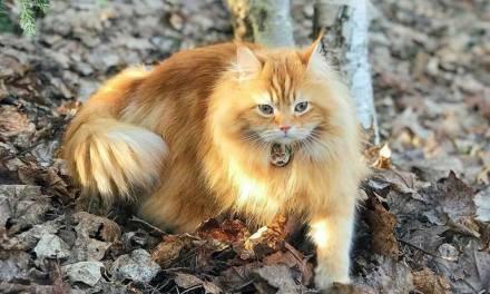 Le chat Sibérien, roi de la forêt.