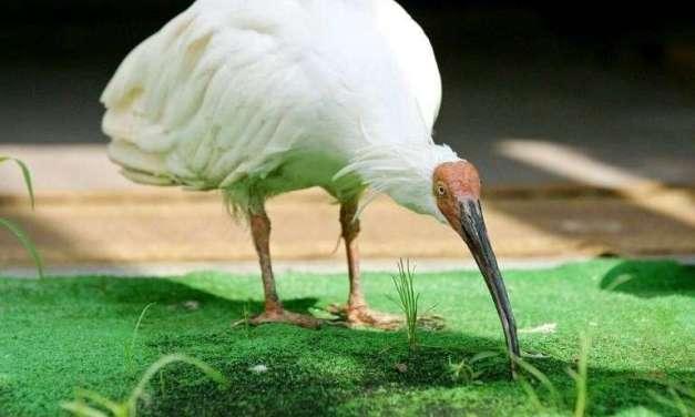 Chine-Japon: l'ibis nippon vole au secours de la « diplomatie du panda »