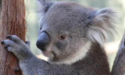 Câlin Koala