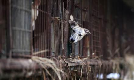 Tuer les chiens pour leur viande est illégal, dit un tribunal sud-coréen
