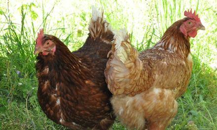 Pour réduire les déchets, une mairie près de Lyon offre des couples de poules à 50 familles