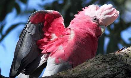 Belle complicité entre une très jolie nana et son perroquet Galah