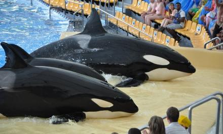 L'agence de voyages Thomas Cook supprime de son catalogue les parcs aquatiques où les orques sont en captivité
