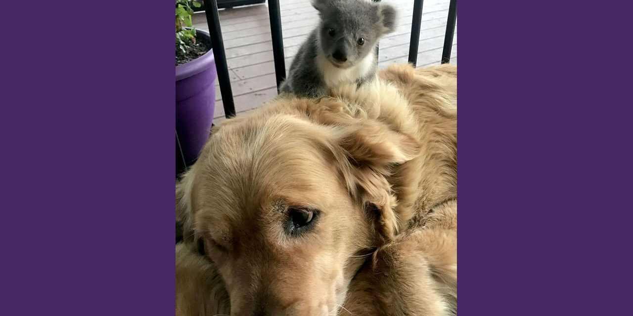Australie: Un golden retriever surprend sa maîtresse avec un bébé koala agrippé sur dos.