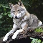 Les loups sont indispensables à l'équilibre de l'écosystème … En voici un très bel exemple au Parc Yellowstone
