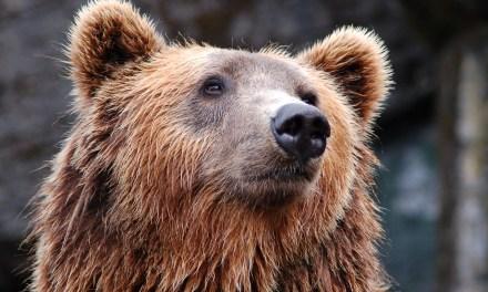 Etats-Unis: Un ours entre dans un poste de police en se tenant sur ses deux pattes arrière