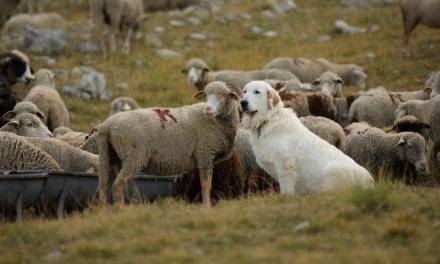 """Bande-annonce """"Loups et moutons : des solutions ?"""""""