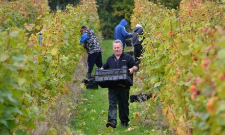 Avec le changement climatique, les viticulteurs anglais se frottent les mains