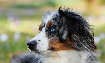 Le berger australien, chien préféré des Français en 2018