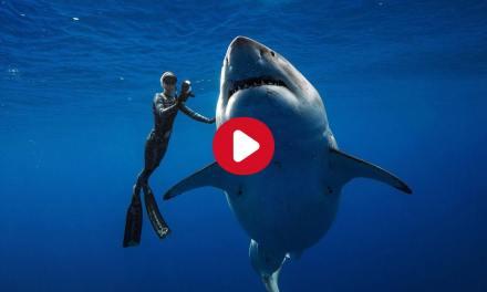 Ce que cache réellement la vidéo d'une nageuse avec un requin blanc au large d'Hawaï