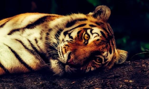 Très mauvaise surprise : la Chine veut de nouveau autoriser le commerce d'os de tigre et de cornes de rhinocéros. Signez la pétition pour stopper cette horreur.