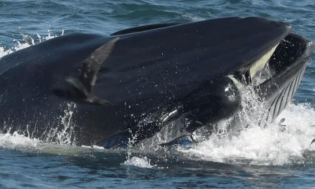 Un plongeur se fait avaler par baleine et en sort indemne