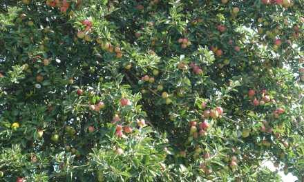 Un pommier au jardin. Mode d'emploi