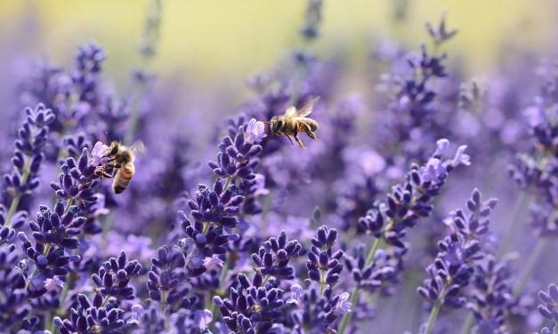 À la saison des pommiers en fleurs, les abeilles-ouvrières sont reines