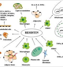 figure 1 resistin as a potential regulator of inflammation a schematic representation of key  [ 1209 x 919 Pixel ]