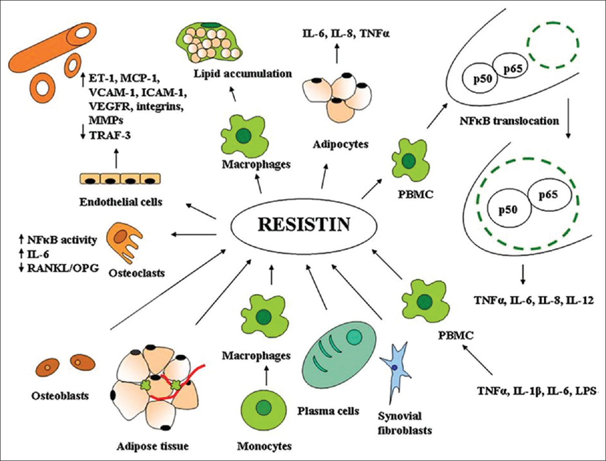 hight resolution of figure 1 resistin as a potential regulator of inflammation a schematic representation of key