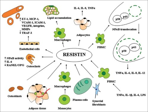 small resolution of figure 1 resistin as a potential regulator of inflammation a schematic representation of key