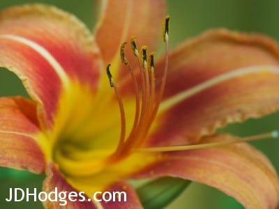 Macro of flower petals and stamen