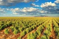 米国アリゾナ州にあるブリヂストンのグアユール研究農場