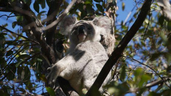 Een wilde koala in een boom in Australië op Magnetic Island