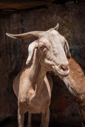 Cows & Goats