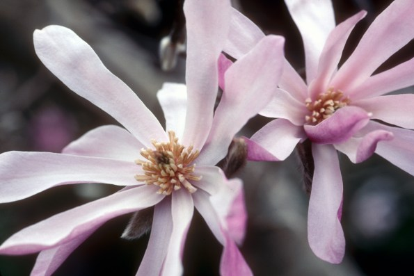 star_magnolia_pair3.wrk