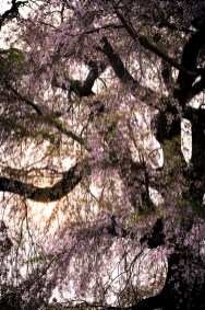 Maruyama Park, Gion, Kyoto